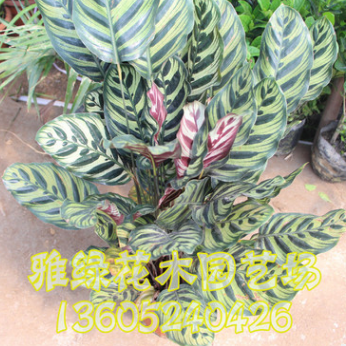 孔雀竹芋批发 可盆栽 量大优惠 室内植物 净化空气 室内盆栽销售