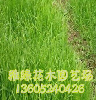 野牛草价格 野牛草种子批发 高发芽率 草坪种子销售 量大优惠