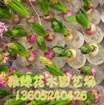 种球 水培植物 土培植物 多色风信子 球根花卉 包成活