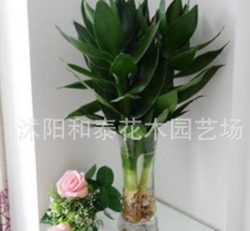 观音竹水培花卉富贵竹 水培 植物室内栽培盆栽批发净化空气竹子