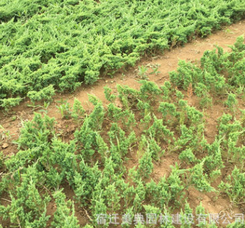大量供应铺地柏 沙地柏 工程用苗 道路护坡绿化
