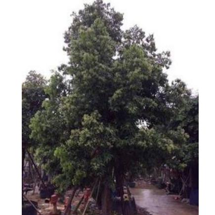 供应规格齐全的绿化苗木阴香