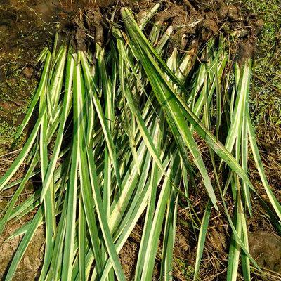 湖南基地直供优质菖蒲 精品水生植物菖蒲小苗批发 货源充足