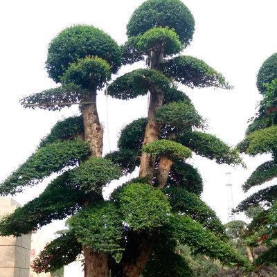 庭院绿化苗木造型榆树 树形优美多种规格造型榆树桩