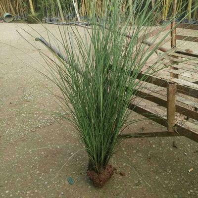 水生植物 细叶芒 湖南苗圃供应细叶芒 易成活 量大优惠
