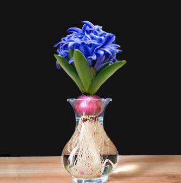 荷兰进口水培风信子种球 冬天也能开花耐寒花卉 四季开花风信子球