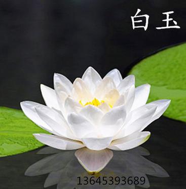 四季播种碗莲种子 已开口水培植物睡莲荷花种子室内盆栽绿植花卉