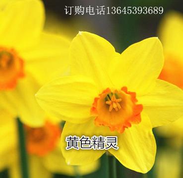 水培土培水仙花种球苗 冬天开花种球 水土养植物盆栽花期长颜色多