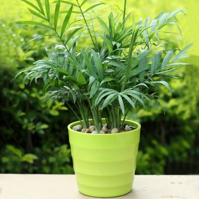 袖珍椰子除甲醛防辐射植物小盆景绿色客厅办公桌室内绿植花卉盆栽