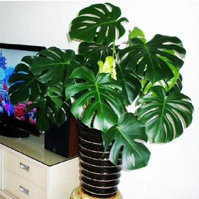 大型龟背竹 大叶 盆栽植物 水生 水培绿植室内客厅吸甲醛净化空气