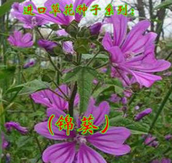 锦葵花朵硕大 美丽栽培容易耐寒耐半荫秋播花籽