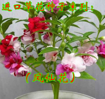 凤仙花种 盆栽植物 花大 花期长 四季播生机盎然