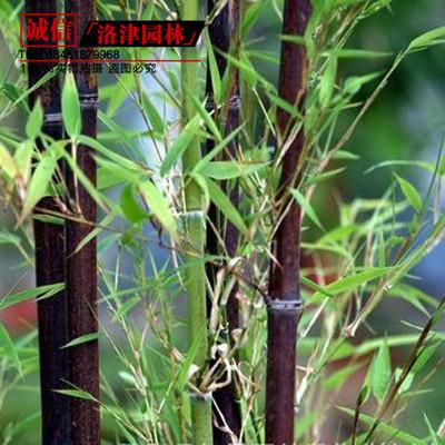 四季竹常青园林观景竹子批发 紫竹苗 耐寒1.5厘米粗 竹类植物