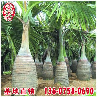 酒瓶椰子价格 福建漳州基地 大量批发 规格齐全 市政工程供应