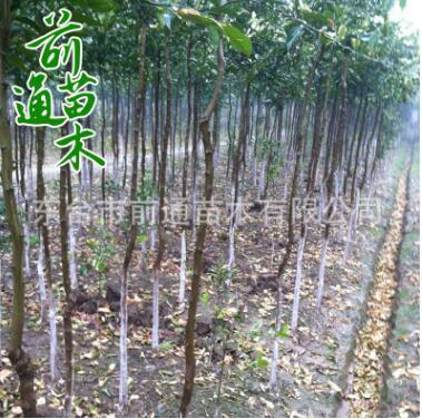香橼树 供应绿化工程 园林植物 规格齐全 基地直供