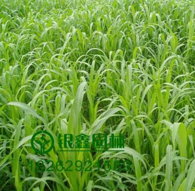 批发一年生黑麦草种子 地被牧草耐寒耐干 高产宽叶再生快品种优质价格低 适用园林绿化工程 花圃苗圃