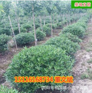 批发海棠球苗 工程采购市政园林绿化苗木精品造型
