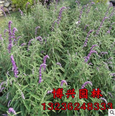 优质草花种子蓝花鼠尾草批发 正品 包成活 量大优惠