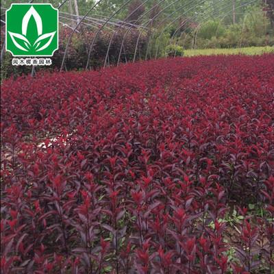 批发 基地直销优质紫叶矮樱 紫叶矮樱苗 绿化苗木 规格齐全