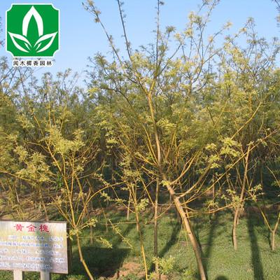 供应黄金槐树苗 行道树黄金槐 批发各种绿化苗木 量大优惠