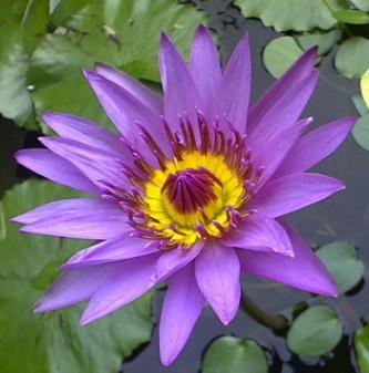 睡火莲苗睡莲根茎睡莲根块水培睡莲池塘睡莲水生花卉水生植物