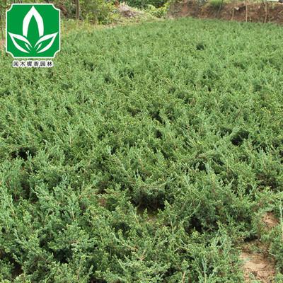 基地工程常绿灌木地柏树苗批发 铺地柏又名爬地柏 四季常青规格齐