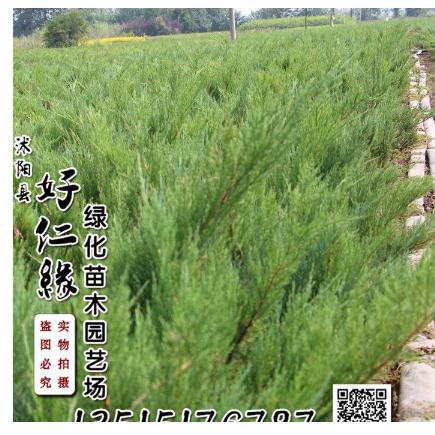 常年铺地柏.沙地柏0.20-2米工程苗木花卉30万株常绿乔灌