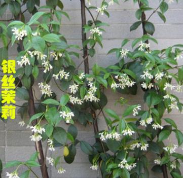 盆栽风车茉莉花 银丝茉莉 垂钓的风车茉莉 可攀缘 庭院爬藤