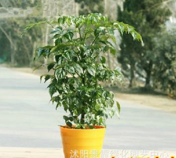 批发供应 幸福树 象征幸福 平安 桌面小盆栽 四季常青 园林植物