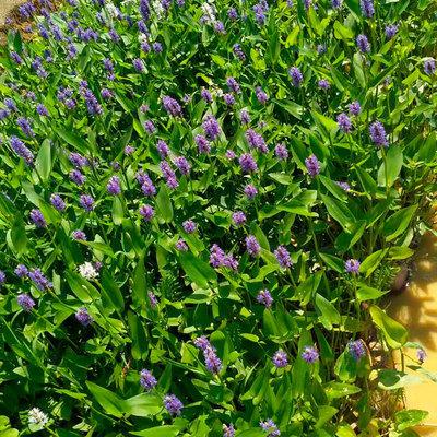 出售水生植物梭鱼草小苗 湖南花卉基地直供 成活率高 货源充足