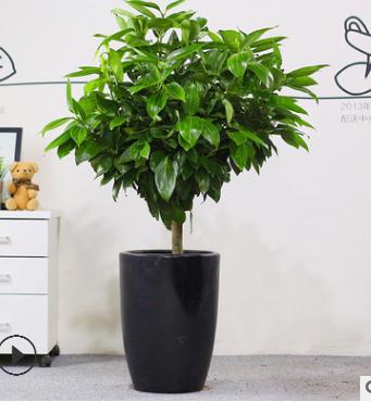 室内大型盆栽 幸福树 平安树 盆栽花卉 平安树大型绿植客厅办公室 举报