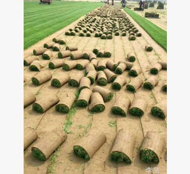 长沙大量供应草皮 马尼拉 狗牙根 百慕大