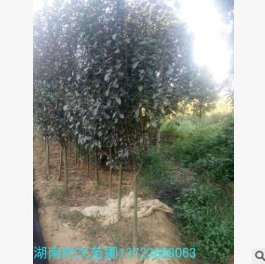 供应行道树工程苗绿化苗 红叶李