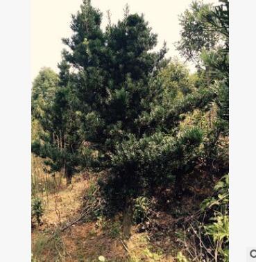 苗圃直供10cm--25cm罗汉松 中大型庭院景观造型树