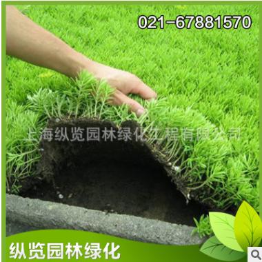 屋顶楼顶绿化隔热防寒植物佛甲草草卷 易活易养护易打理 基地直销
