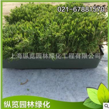 屋顶绿化常用植物【基地直销】容器型绿叶佛甲草 耐寒易活