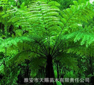基地直销濒危植物桫椤树苗蛇木 蕨类植物之王别墅庭院观赏树批发