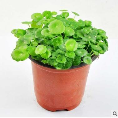 大量批发绿色水培植物 水生植物 铜钱草香菇草