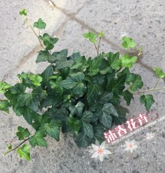 沐春常春藤--基地直销 青叶常春藤盆栽 工程绿化苗木小盆栽 140杯
