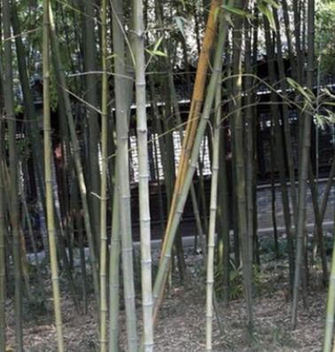 批发乌哺鸡竹 竹笋用竹竹子苗 庭院绿化观赏 园林工程绿篱