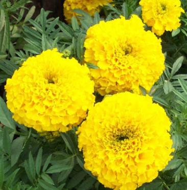 供应各种牧草花草种子 优质万寿菊种子 菊花种子 花卉种子