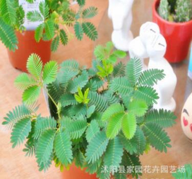 四季香菜种子 盆栽蔬菜种子 阳台种菜 芫荽种子