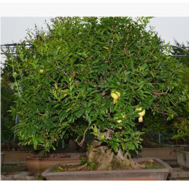 室内大叶植物绿植 室内桌面盆栽 石榴树桩盆栽 中小型盆栽批发