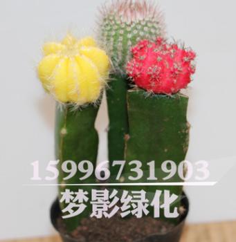批发仙人球多肉植物组合盆栽 彩色仙人球三组合 室内装饰盆栽花卉