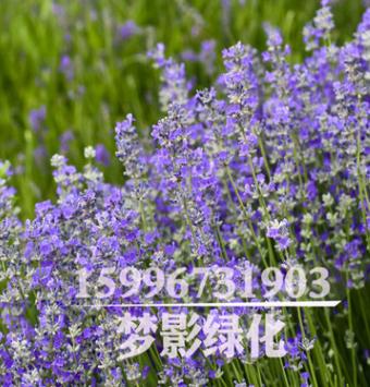 基地直销 优质薰衣草 品种齐全 观花植物 薰衣草苗 量大优惠