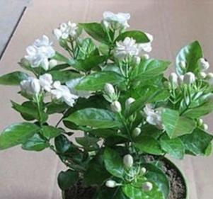 盆栽室内单瓣 重瓣白茉莉花苗 净化空气 3-5年苗花卉植物
