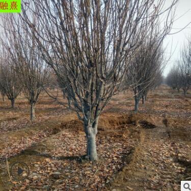 供应八棱海棠 4公分-16公分规格 分枝多 园林植物造景树种