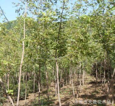 供应露地观叶糖槭小区乔木 批发金叶复叶槭