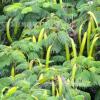 皂角树出售10公分 12公分 15公分优质绿化专用皂角树 皂角树价格