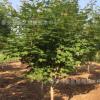 绿化基地出售5公分7公分8公分10公分优质五角枫 园林绿化树五角枫